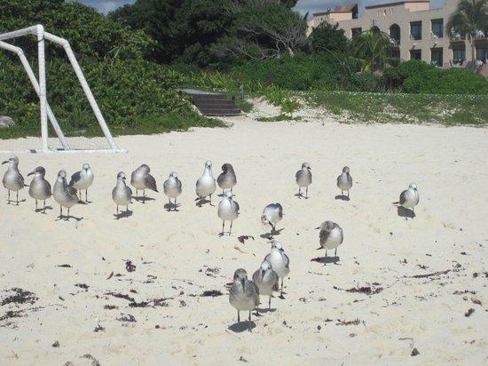 Sandos Playacar Beach Resort: Gaviotas