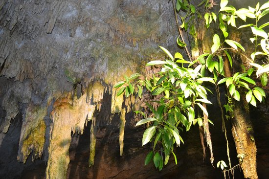 Cenotes Tamcach-Ha & Choo-Ha: Tree growing upside down from cave celing