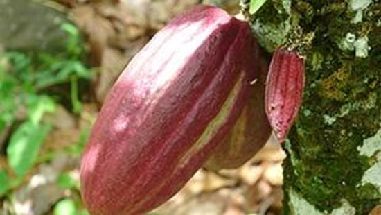 Vaisala Hotel: Cocoa pods getting reach to make chocolate