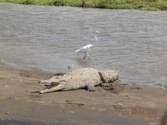 Jungle Crocodile Safari: A Bird casually walks by the Crocodile