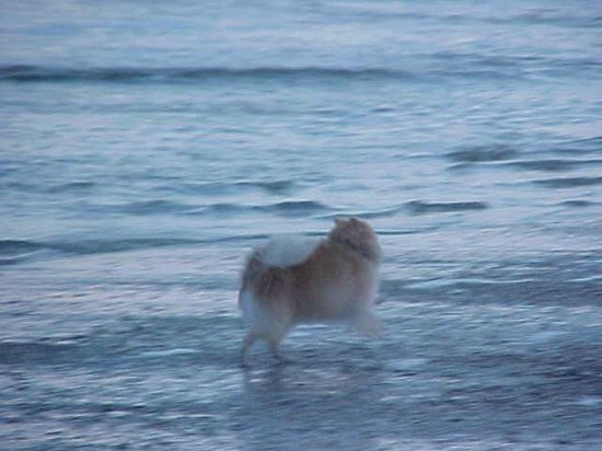 Out by the Sea Bed and Breakfast: My Pomeranian on the beach