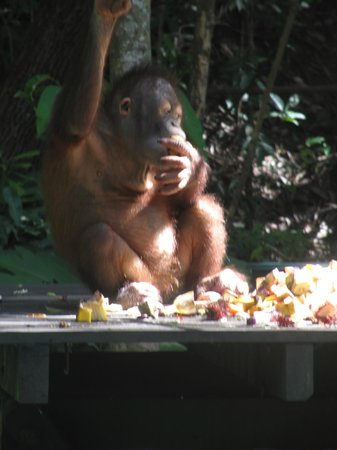 Shangri-La's Rasa Ria Resort & Spa: One of the baby orangutans at feeding time