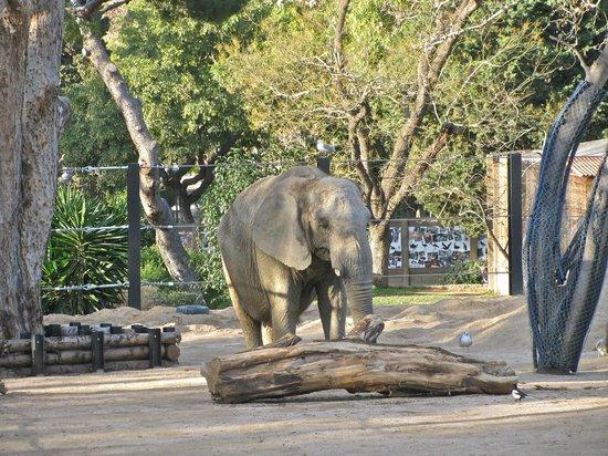 Elephant foto di barcelona zoo parc zoologic de for Elephant barcellona