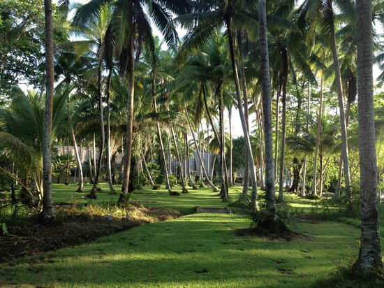 Tavanipupu Island Resort : Coconut Trees