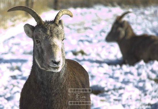 Yukon Wildlife Preserve: Goat