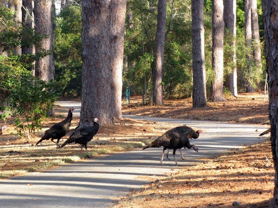 Brookgreen Gardens : Turkeys