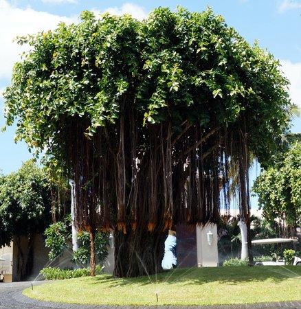 Sugar Beach Resort & Spa: der prächtige Banyanbaum begrüsst die Sugar Beach Gäste
