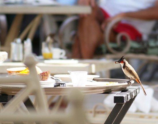 Sugar Beach Resort & Spa: kecker Rotohrbülbül