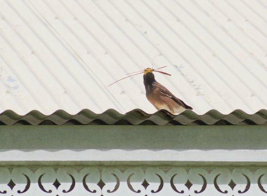 Sugar Beach Mauritius: Hirtenvogel, der kleine Bauunternehmer