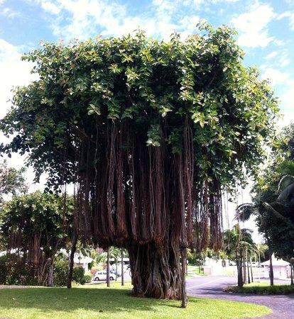 Sugar Beach Resort & Spa: er ist so prachtvoll - der hoteleigene Banyanbaum, dass er 2 mal hier sein darf ;-)