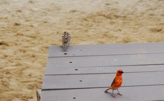 Sugar Beach Mauritius: lass uns ein wenig spaTzieren geh'n, kleiner Webervogel.