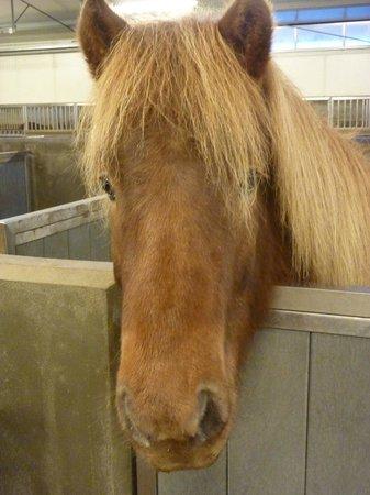 Icelandic HorseWorld: Icelandic Horse