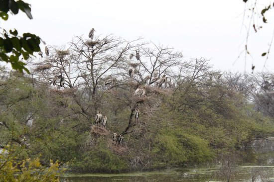 Keoladeo National Park : tons of storks in the tree--babies and parents