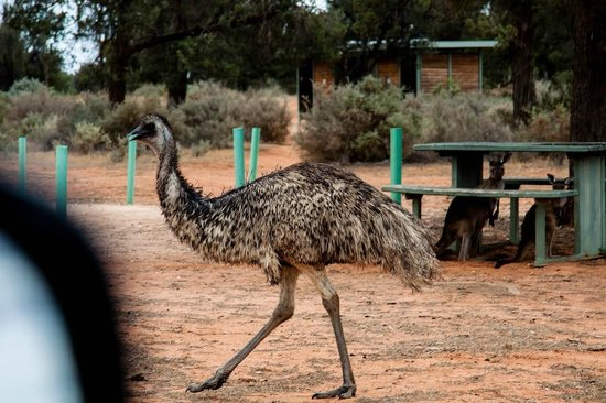Mungo National Park: Emu and kangaroos at main camp