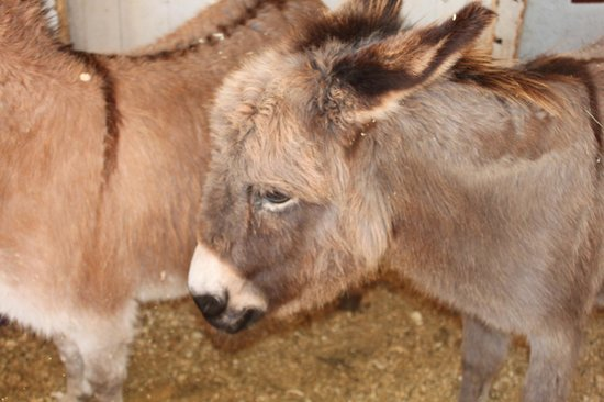 Mountain View Grand Resort & Spa : Coco the miniature donkey