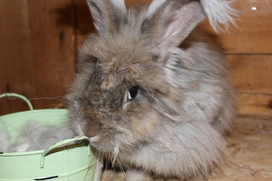 Mountain View Grand Resort & Spa : Angora rabbit