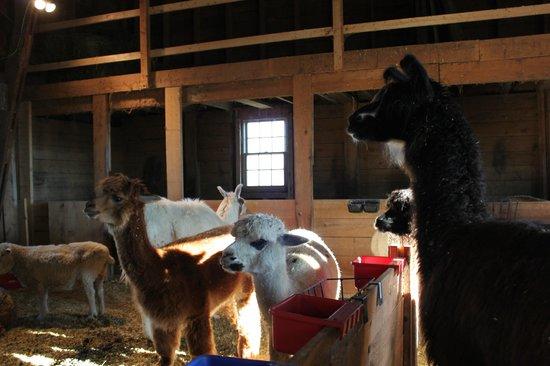 Mountain View Grand Resort & Spa: Farm animals were so cute!