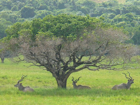iSimangaliso Wetland Park: Kudu's in the park