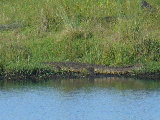 iSimangaliso Wetland Park: Crocodile in the park.