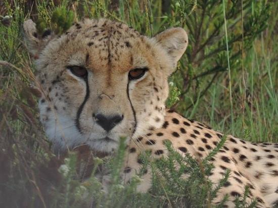 Gondwana Game Reserve: Cheetah