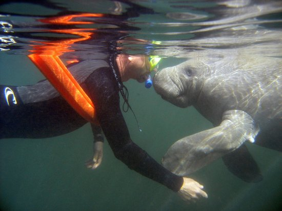 Snorkeling With The Manatees