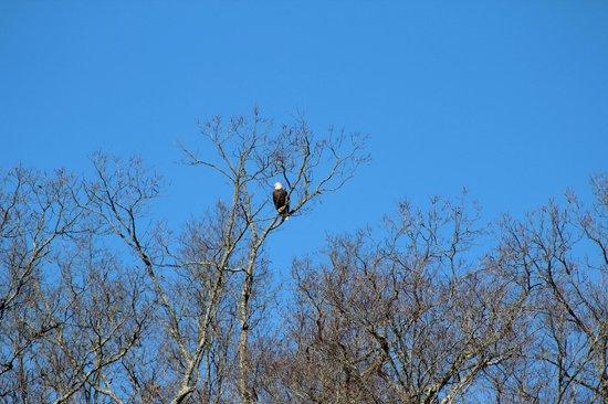 Blue Moon Cruises: bald eagle