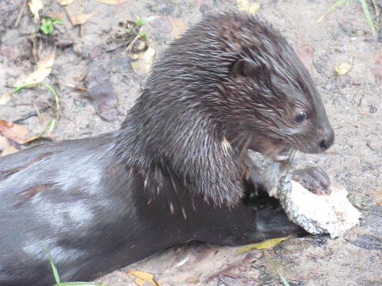 Kalizo Lodge: Baby otter