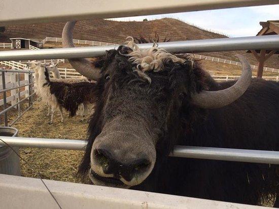 Malibu Wine Safaris: A buffalo (I think)?