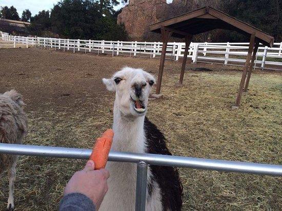 Malibu Wine Safaris: Feeding the llamas