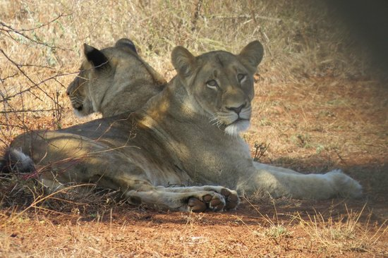 One of our sightings from our Ngwenya Lodge patio