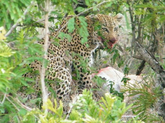 Ngwenya Lodge: Exciting  siting of Leopard Kill