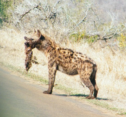 Ngwenya Lodge: Hyena kill - would you believe on tar road round 6kms from Crocodile Bridge Gate