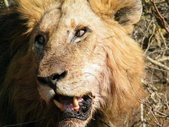 Ngwenya Lodge: Lion in our face 3km into Kruger from Crocodile Bridge gate