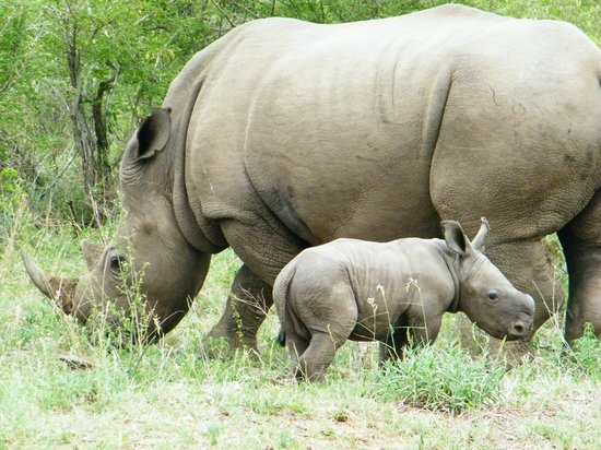 Ngwenya Lodge: White rhino showing off its VERY young on the River front of Ngwenya