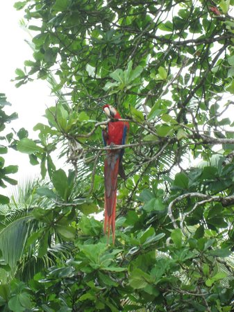 Corcovado Info Center : Scarlet Macaw
