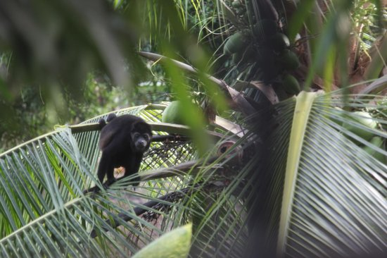 Casas de Soleil: this was a monkey we saw playing in the trees at the beach