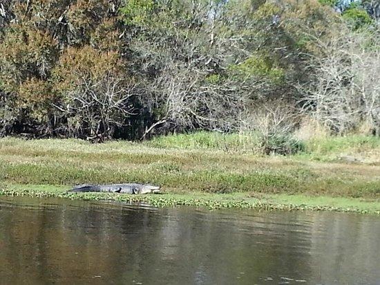 Myakka River State Park: gator photo
