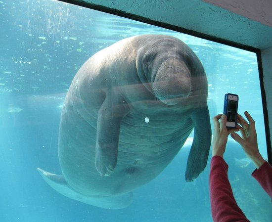 Mote Marine Laboratory and Aquarium : Manatee posing for a picture.