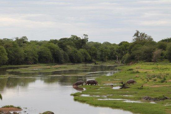 Jongomero : Hippos crossing