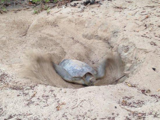 Occidental Tamarindo: turtle on the beach