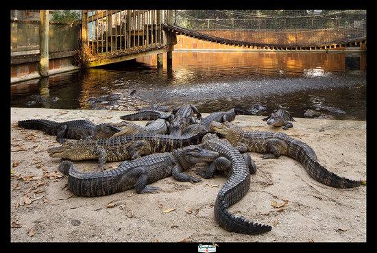 Bonita Springs, فلوريدا: Gator Pond