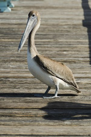 Anglins Fishing Pier: Pelican on the pier