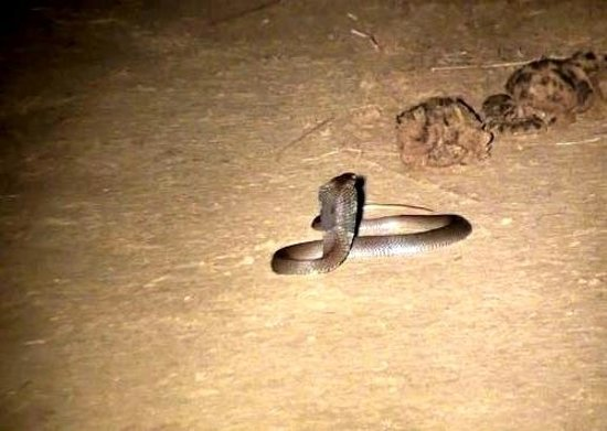 Bilimungwe Bushcamp - The Bushcamp Company: Cobra on Night drive near Bilimungwe Bushcamp