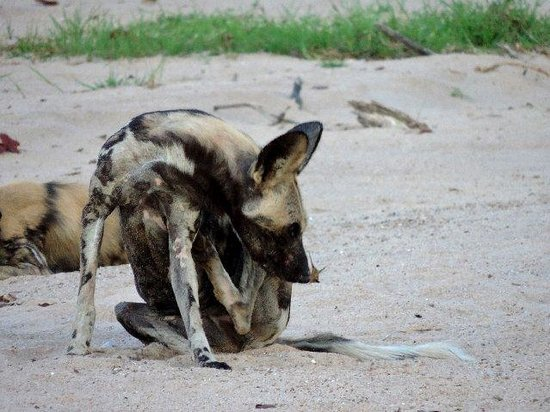 Bilimungwe Bushcamp - The Bushcamp Company: African Wild Dog in Kapamba River bed.