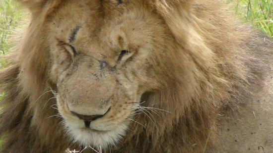 Amani Tiwi Beach Resort : SAFARI LION