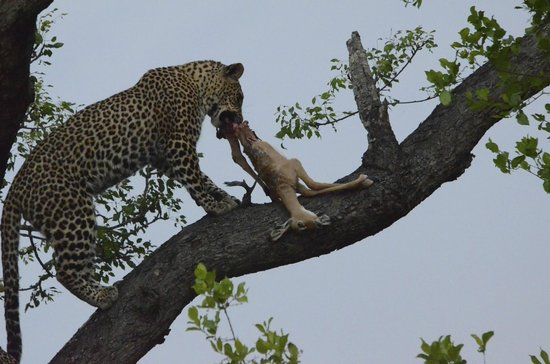Chitwa Chitwa Private Game Reserve: Protecting the day's kill
