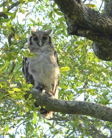 Chitwa Chitwa Private Game Reserve: Great Owl