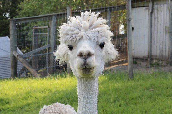 Lakeview Heights Farm Stay: Alpaca!