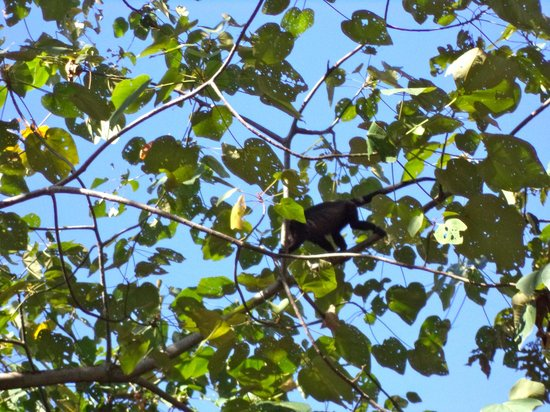 Surf Bikini Retreat: Howler monkey on zipline tour