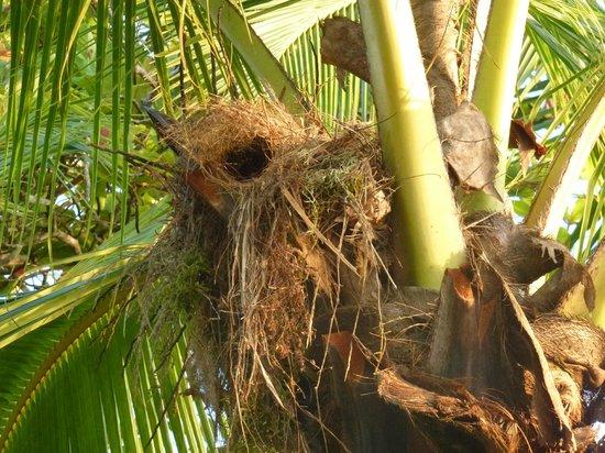Iguana Lodge: Bird's nest in beach palm